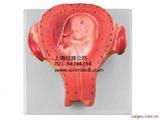 三个月胎儿模型