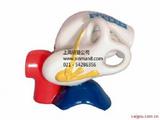 中耳解剖放大模型,中耳模型