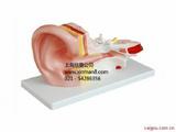 中耳解剖模型