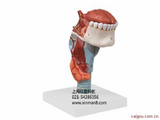 喉附舌牙模型
