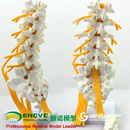 ENOVO颐诺医学人体五节腰椎模型 马尾神经坐骨神经模脊椎骨科模型