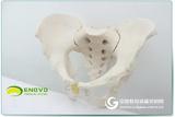 ENOVO颐诺 1:1男性骨盆模型标本髂骨坐骨尾骨模型 人体骨骼模型