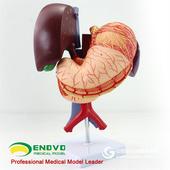 ENOVO頤諾醫學人體胃肝膽囊胰腺十二指腸模型解剖消化科系統器官