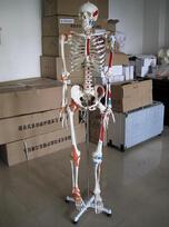 170cm人体骨骼模型(附半边肌肉着色及半边韧带)  产品货号: wi113909