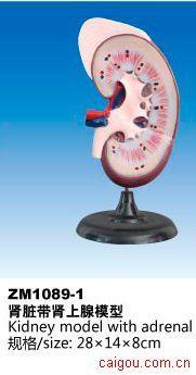 肾脏带肾上腺模型