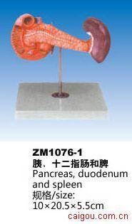 胰、十二指肠和脾