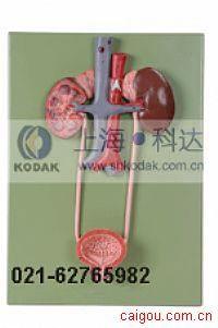 泌尿系统模型