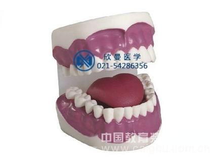 牙保健模型(放大3倍,28颗牙)
