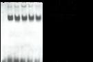 EMSA凝胶迁移实验原理