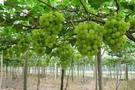 葡萄园滴灌的优点与设备安装介绍