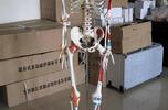 170cm人體骨骼模型(附半邊肌肉著色及半邊韌帶)  產品貨號: wi113909