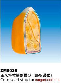 玉米籽粒解剖模型(胚拆装式)