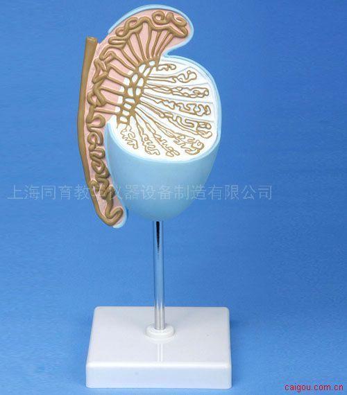 自然大睾丸模型